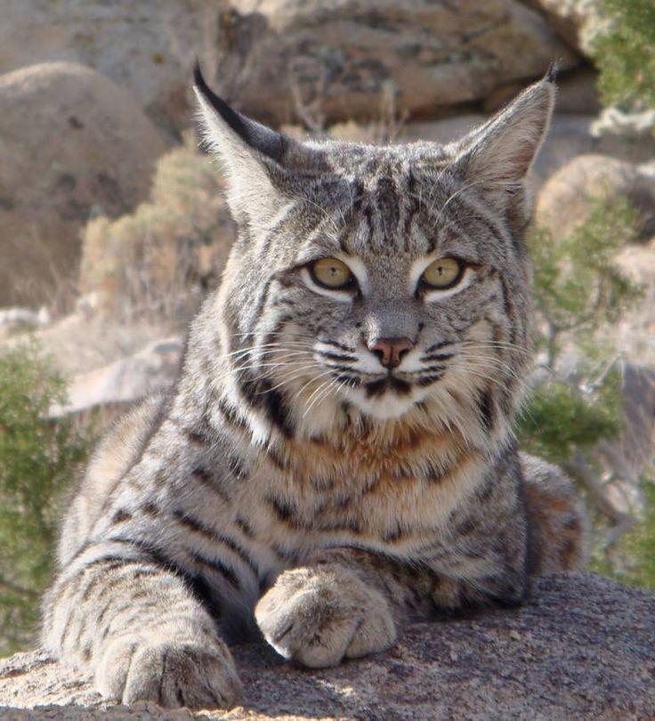 Beautiful bobcat. Animals, Pets Etc Pinterest Beautiful
