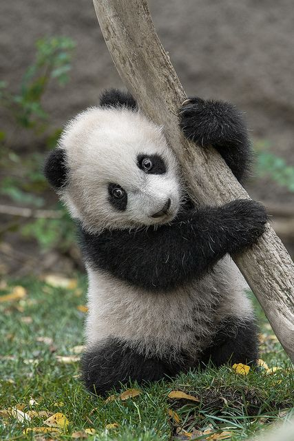 Yun Zi Tree Hugging Back in 2009 by Official San Diego Zoo, via Flickr