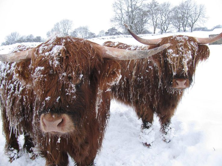 Compassion In World Farming Highland Cattle Christmas