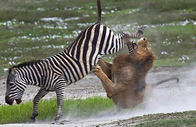 Lion attacking zebra Preypredator Pinterest A lion