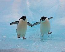 Image result for adele penguins