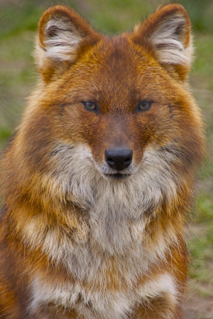 """""""Dhole"""" by James Selwood (Indian Wild Dog). I LOVE the way"""