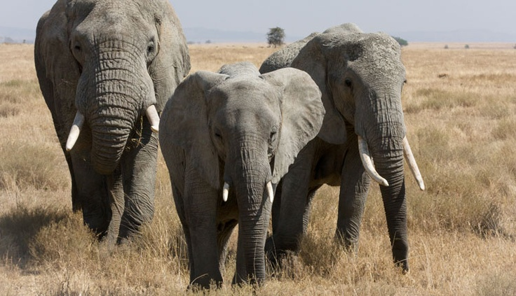 Largest living terrestrial animal is the elephant Worlds