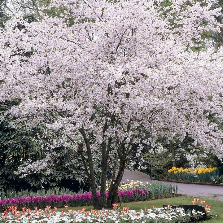 Prunus x subhirtella Autumnalis Trees Pinterest