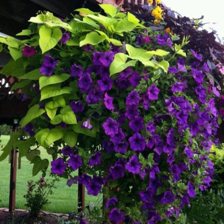 Beautiful climbing flowering vine Gardening ,flowers
