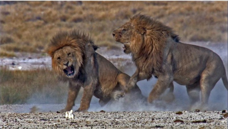 Two lions fighting against each other because of food or