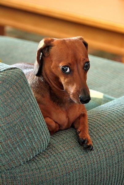 classic guilty dachshund look! .. soooo true!! lmao