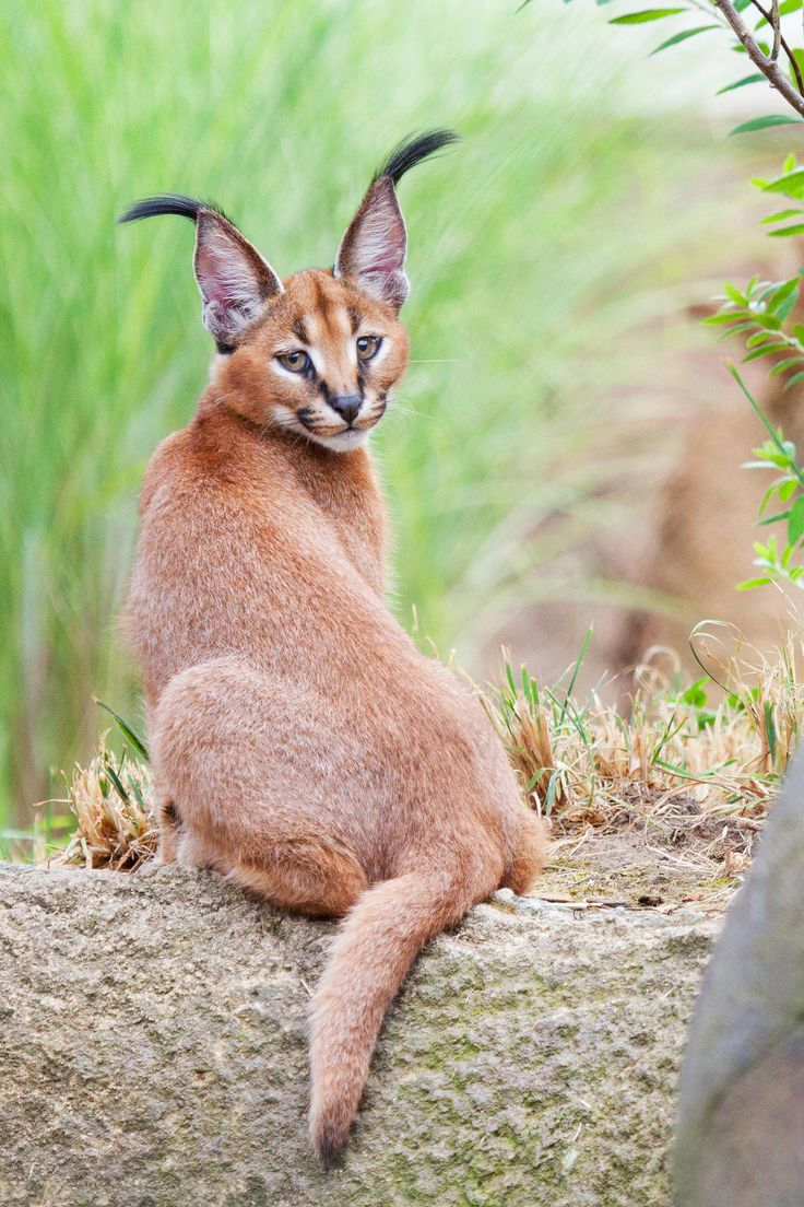 My, what big ears you have!! Caracal Kitten Cute Animals