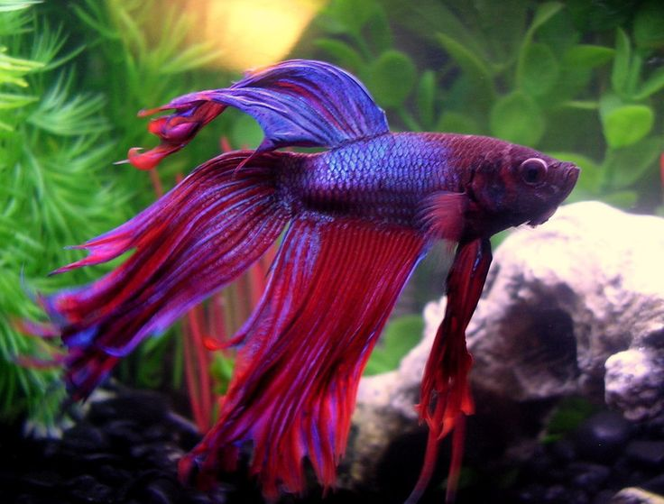 Crowntail Betta Fish | Photo Caption: Meet Finley, my ...