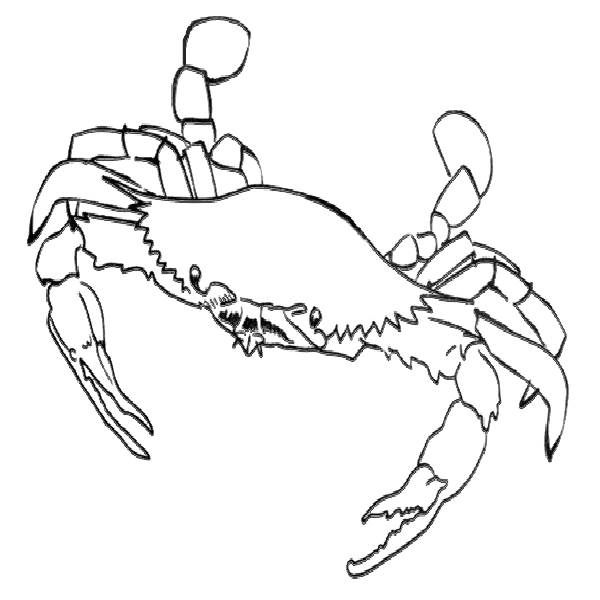 blue crabs colouring pages and crabs on pinterest