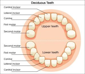 Dental Charts to Help You Understand the Tooth Numbering