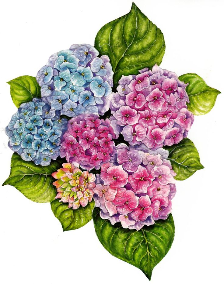 201 Best Images About Printables Hydrangea On Pinterest