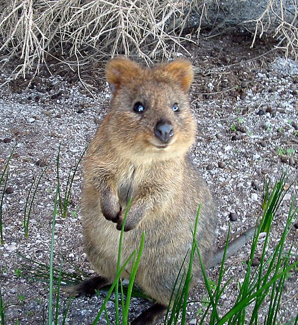Quokka endangered in Australia. Happiest animal