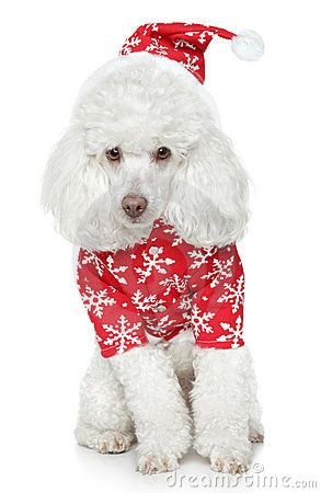 White Toy Poodle Merry Christmas Card Puppy Holiday Dogs