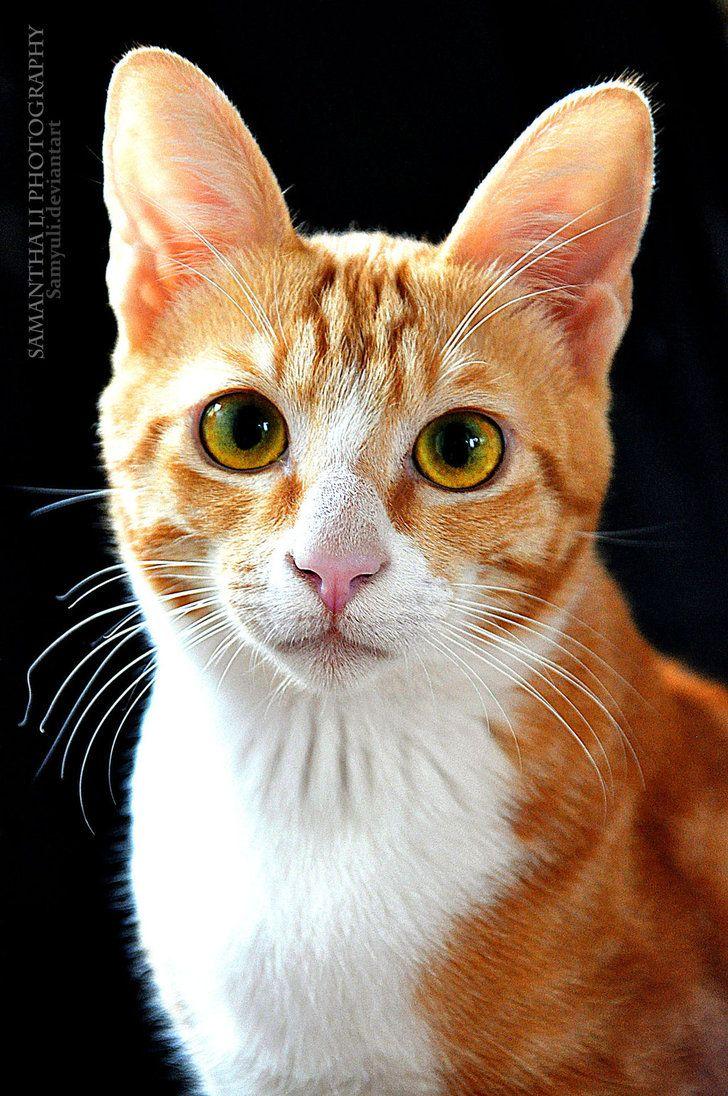 Cat portrait (by SamanthaLi) CatsGinger/Orange/Red