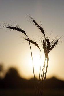 cornfields Kansas Wheat at Sunset Scott Bean Photography