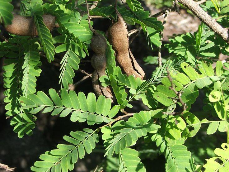 tamarindus indica pokok asam jawa LANDSCAPE PLANT