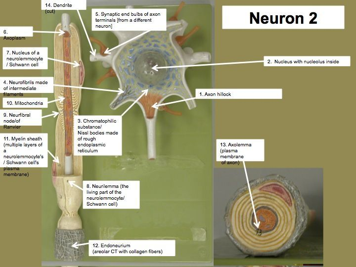 Image Result For Neuron Model