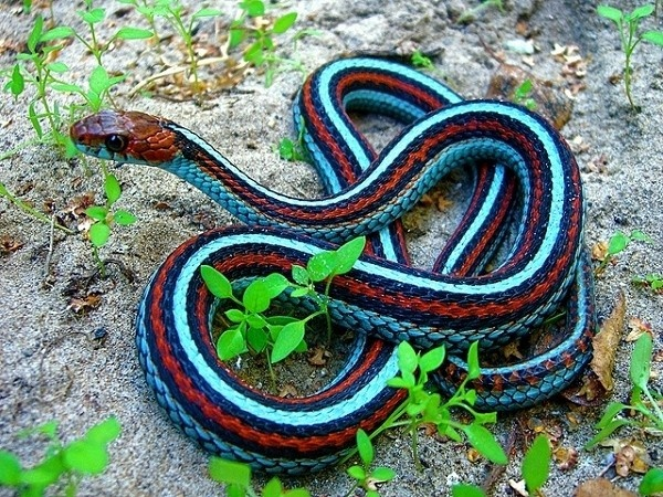 A California Redsided Garter Snake with a color mutation