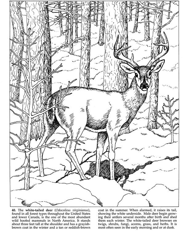 1000 ideas about white tailed deer on pinterest whitetail bucks