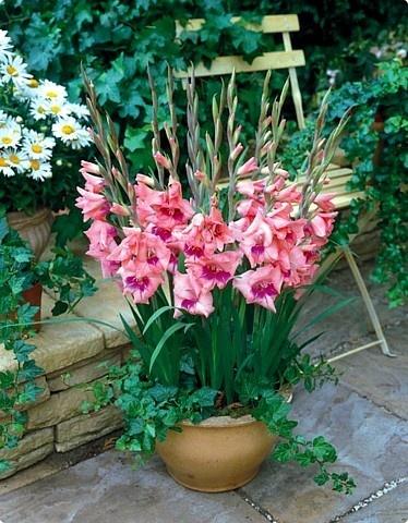 'Eva' Glamini Gladiolus 10 Bulbs NEW! Petite Glads in