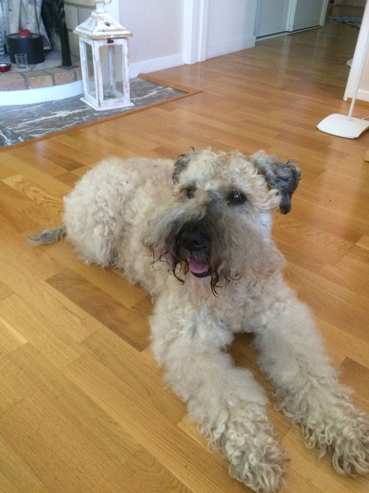 731 Best Images About Wheaten Terrier On Pinterest