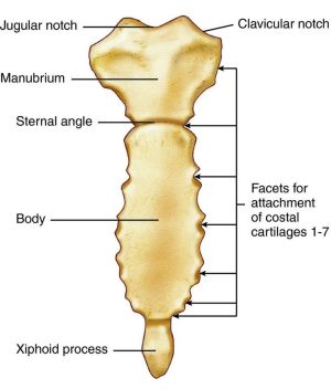 Sternum | Anatomy and Physiology HELP | Pinterest