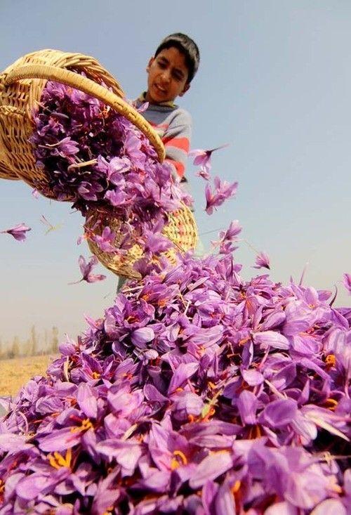 Harvesting Saffron – 75,000 flowers to make a pound of saffron, India