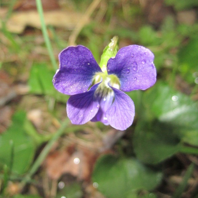 Wisconsin state flower Wood Violet Jamesyn Discovers