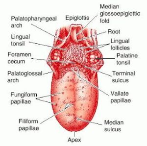 Labeled diagram of the human tongue  The human tongue is a muscular an that is covered by a