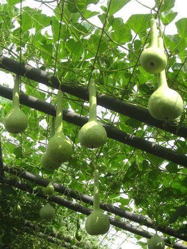 Long Neck Dipper Gourds Gourds Pinterest Gourds And