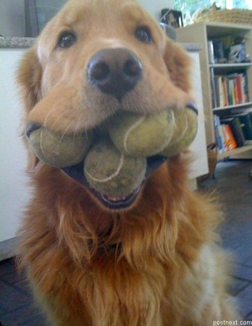 This dog is seriously obsessed with his tennis balls!!  Geezz…4 of them in his