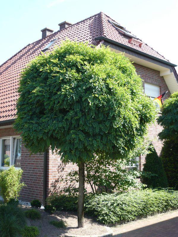 Robinia pseudoacacia 'Umbraculifera' / KugelRobinie