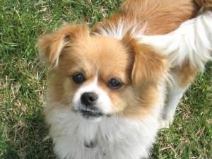 Adopt Jazzy On Chihuahuas Memphis And Shelters