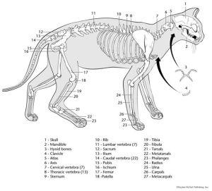 printable cat skeleton | Veterinary Play | Pinterest