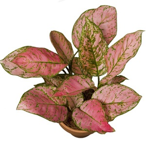 116 Best Images About Aglaonema On Pinterest