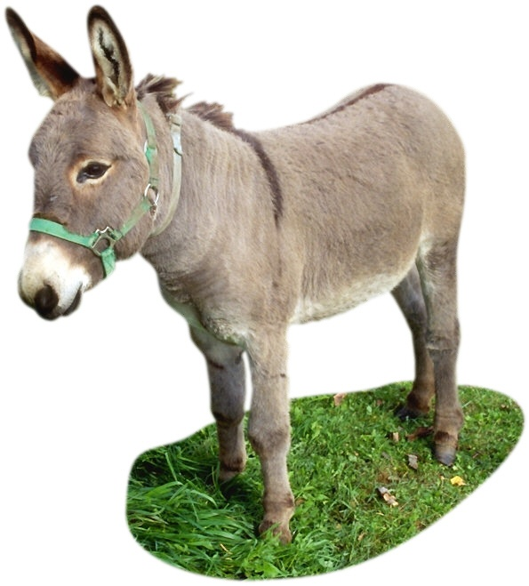 Donkey. The name donkey comes from the old English word