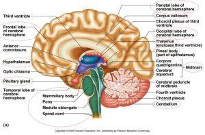 brainpartstoknow | Anatomy | Pinterest | Nice, The o