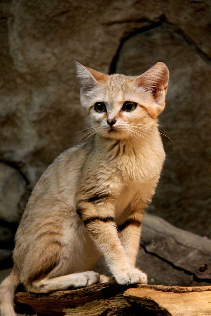 Beautiful! The sand cat (Felis margarita), also referred