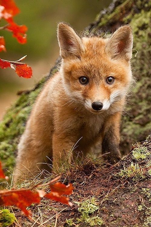 Foxes, Baby foxes and Cute babies on Pinterest