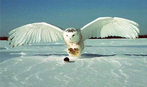 owl coloring pages arctic fox and snowy owl on pinterest