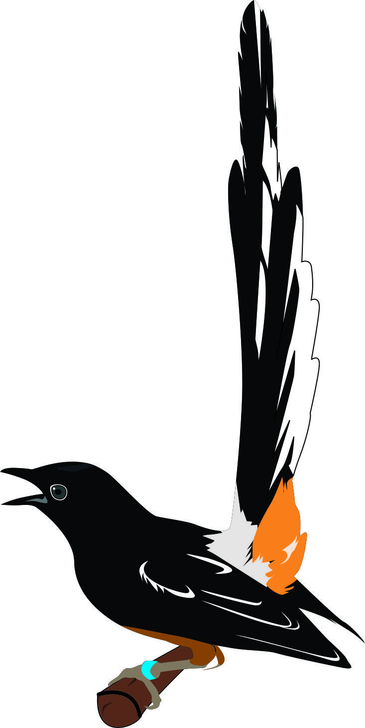 murai batu bird vector vector Pinterest Birds and Batu