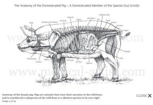 female pig anatomy   Veterinary   Pinterest   Pigs, Search