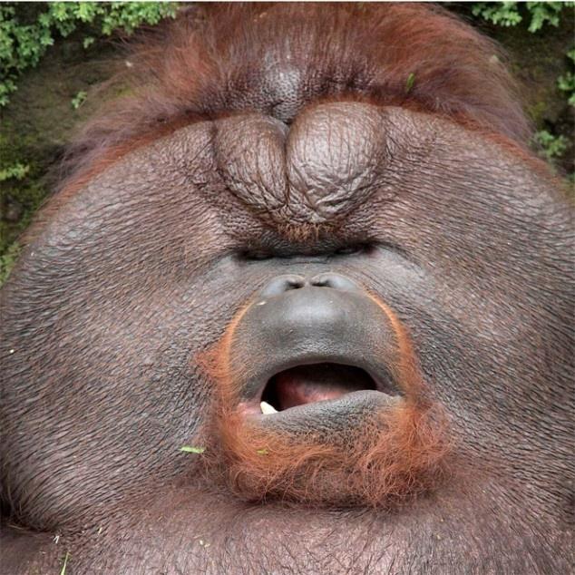 Udel the Fat Orangutan 01 Nature's Best Pinterest