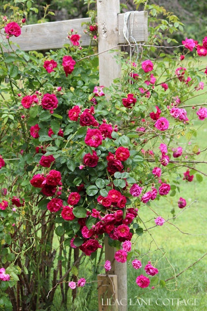 Wild rose grows around old wooden fence English Country