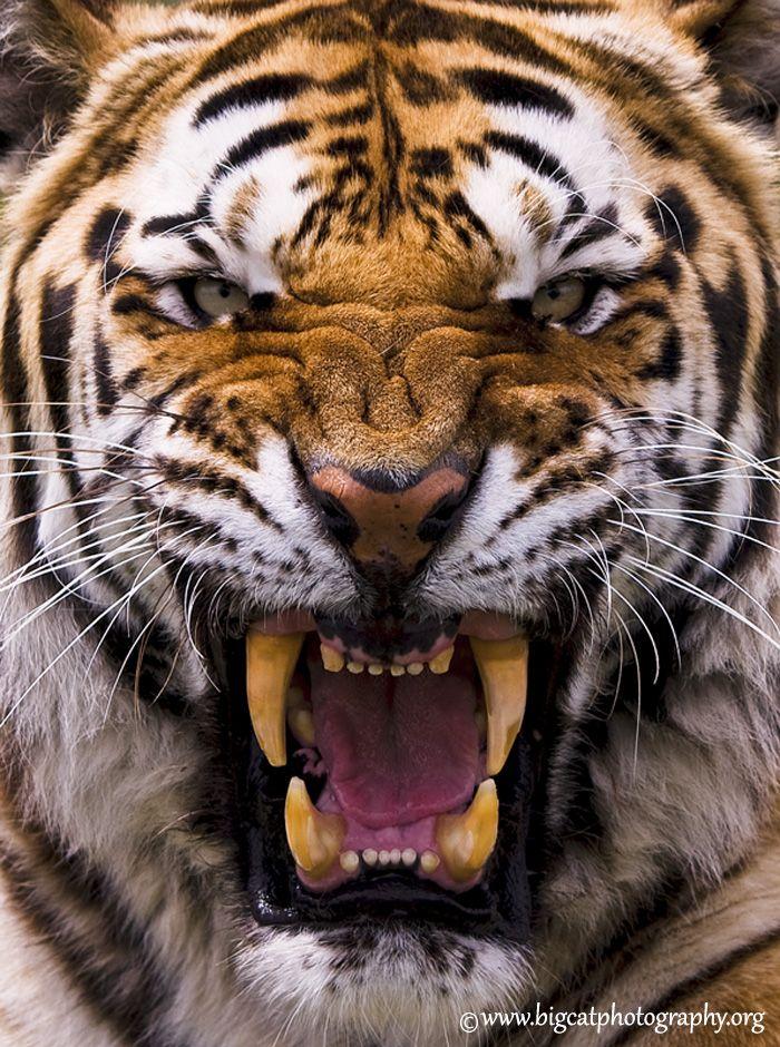 Amur Tiger Be Afraid, Be Very Afraid! Big Cat