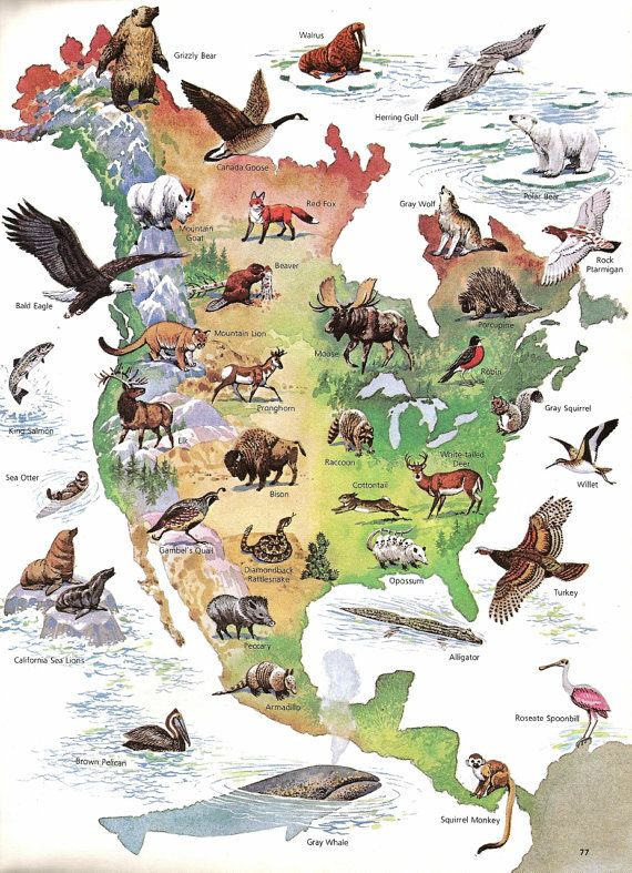 Map North American Wild Life Print Vintage Children's Book