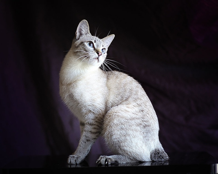 Mekong Bobtail cat in Lynx point color Cats Pinterest