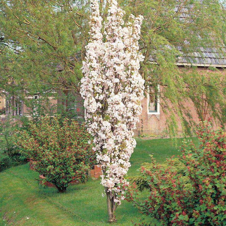 cherry amanogawa columnar Google Search Small Garden