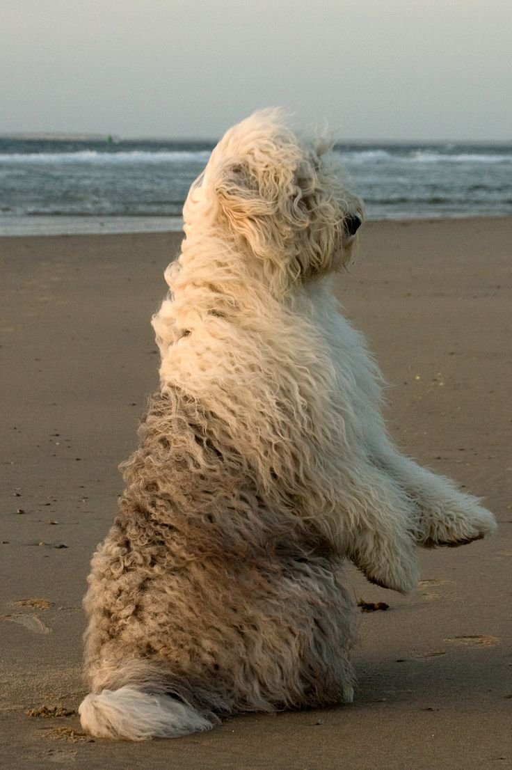 118 Best Old English Sheepdogs Images On Pinterest